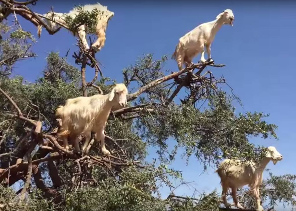 Goats in Tree in Morocco