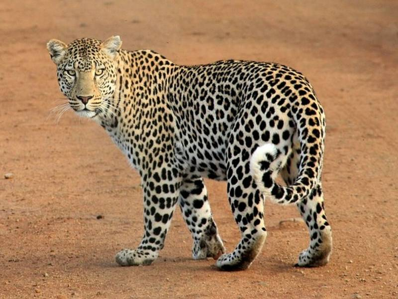Leopard Poacher Faces 20 Years in Prison